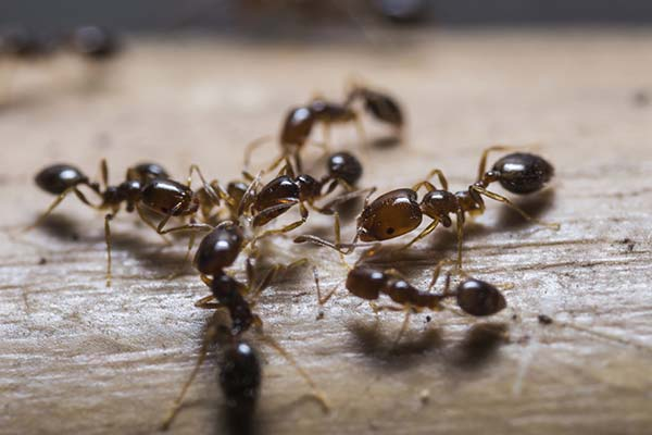ant control gold coast