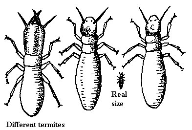 How to Identify Termite Types