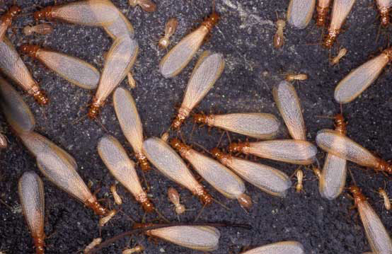 Termites Which Fly