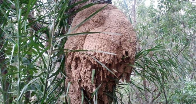 Termite nest in tree