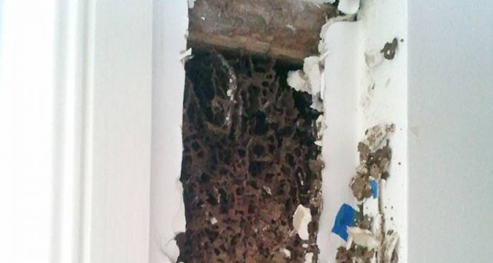 Termite nest in wall